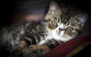 Кот Экзот – плюшевый мишка с милой мордашкой