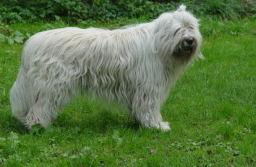 большая болонка порода собак
