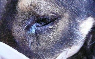 Почему у собаки гноятся глаза?