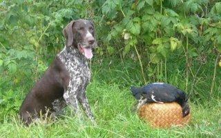 Немецкая собака Курцхаар – хороший охотник и надежный друг