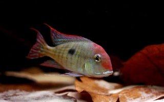 Геофагусы в домашнем аквариуме – учимся содержать экзотический вид рыбок