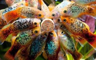 Пецилия – одна из самых популярных и красивых аквариумных рыбок