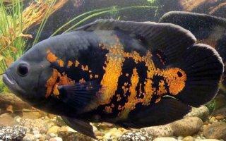 Суровый обитатель аквариума – Астронотус