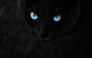 Миниатюрная копия черной пантеры – Бомбейская кошка