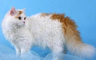 От легких «волн» до крутых завитушек: кудрявые кошки