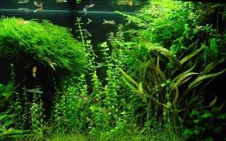 Многолетнее растение бакопа – отличный выбор для аквариума