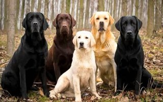 Лабрадор ретривер – одна из самых популярных собак в мире