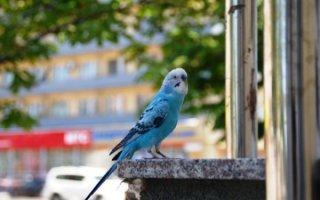 Что делать, если попугайчик вырвался на свободу