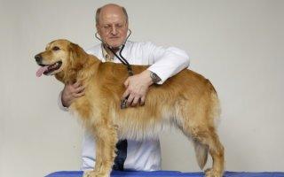 Как вывести подкожный клещ у собаки