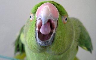 Кеша хороший – учим попугая разговаривать