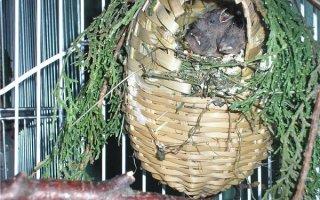 Все о красивых неприхотливых птицах семейства вьюрковых ткачиков – Амадинах