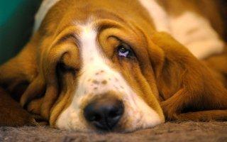 Собака Бассет Хаунд – изучаем английского джентельмена