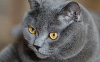 Дымочки, пушистые комочки – знакомимся с многообразием серых кошек
