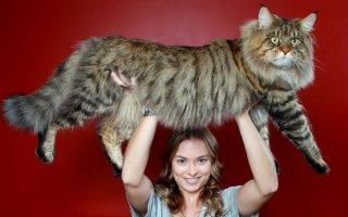 Рекордсмены семейства кошачьих по размерам – самые крупные породы