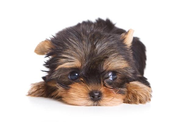 Маленький щенок Йорка грустит