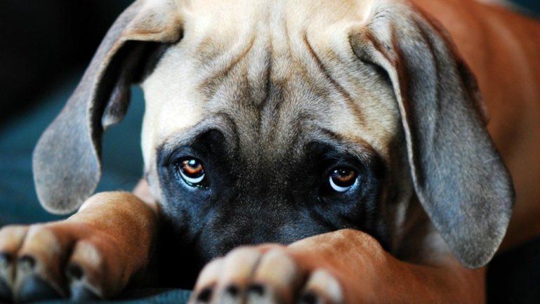 Слезоточивость у собаки