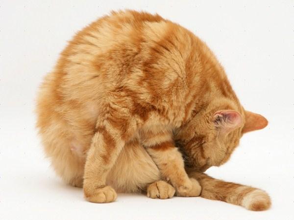 Заболевания кошек гинекология