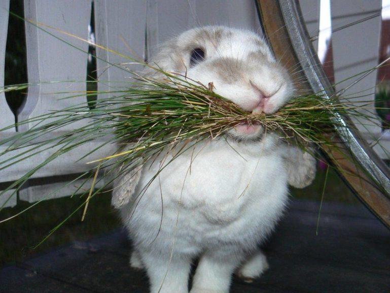 Декоративный кролик ест сено