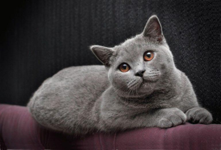 Голубая-британская-короткошерстная-кошка-фото