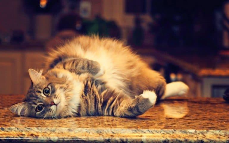 беременность у кошек