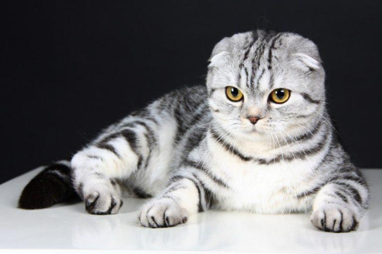 Шотландская вислоухая кошка красивая порода