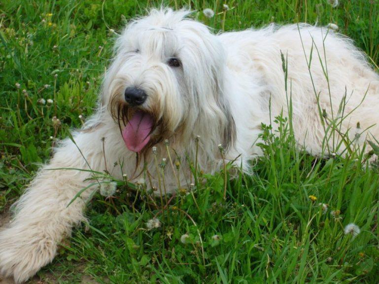 Длинношерстных собак необходимо стричь