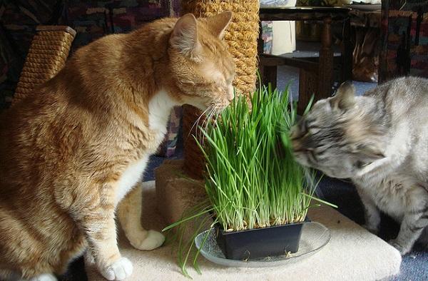Два кота едят пророщенную траву