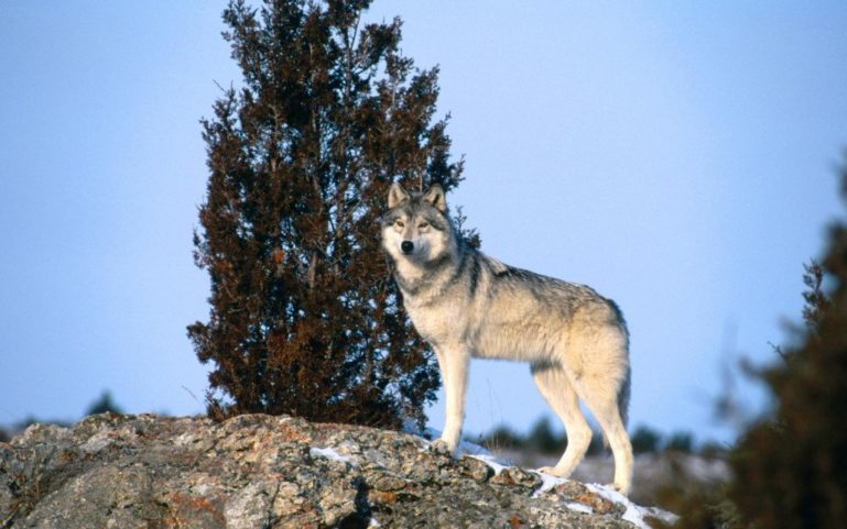 Волк одиночка против алабая