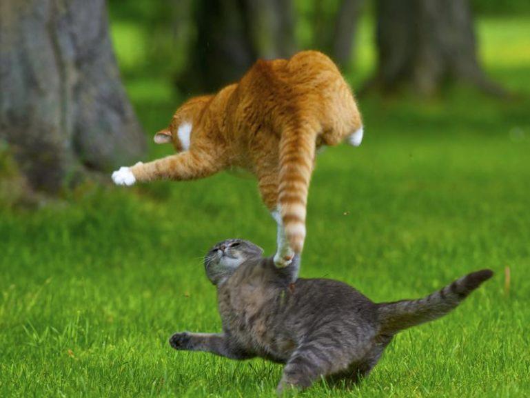 Атака кота соперника