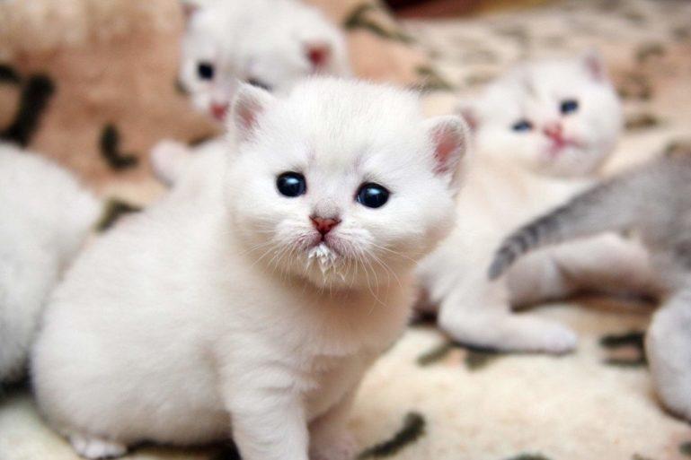 козье молоко для котят