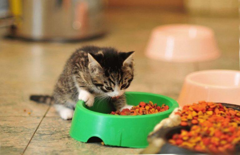 кормление котят сухой корм