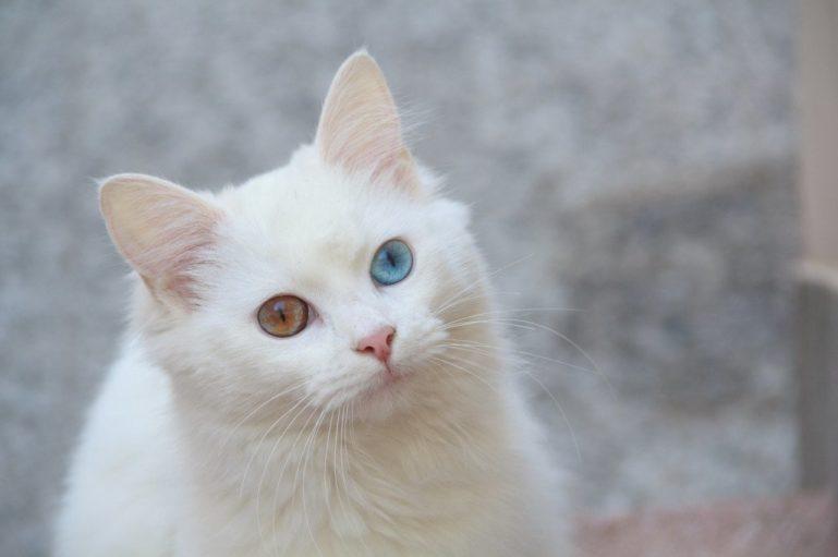 кошка-альбинос