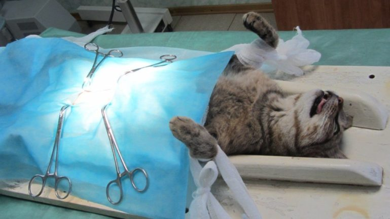 Стерилизация кошки имеет плюсы