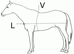 Измерение длины и обхвата груди коня