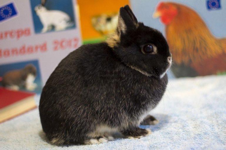 Кролик породы минор