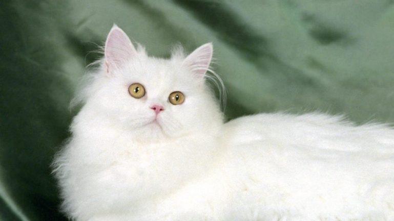 сибирская белая кошка