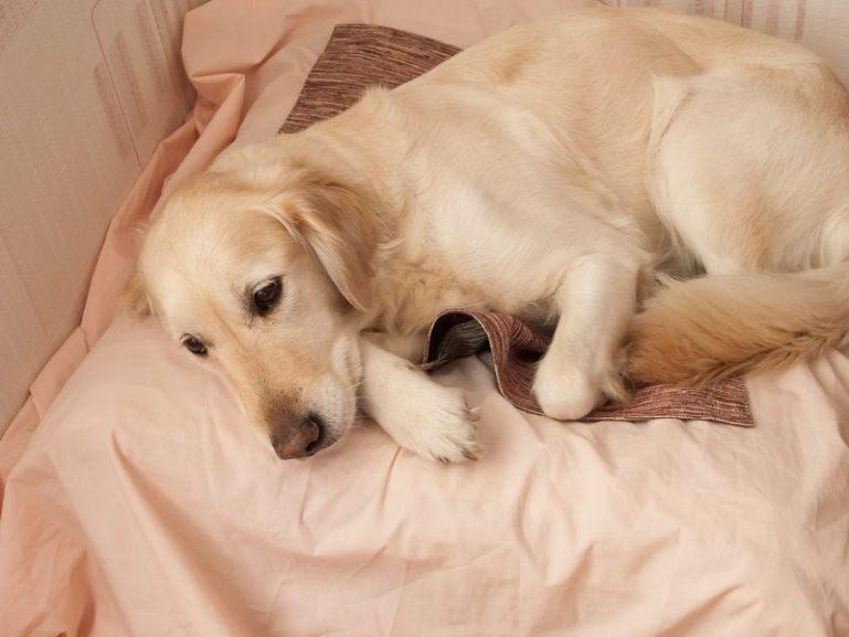 собака ложная беременность