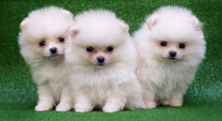 Маленькие пушистые собаки